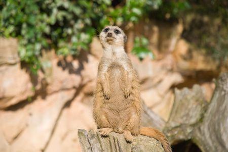 Meerkat (Suricate) camera kijken