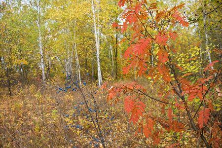 Bayas en el bosque de oto�o  Foto de archivo