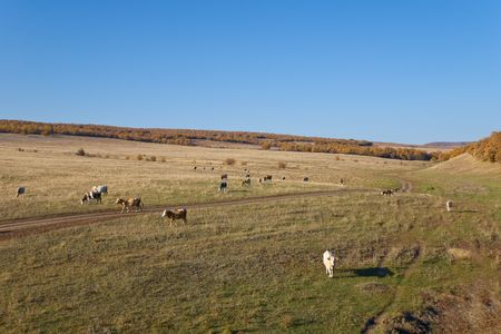 Cows on the Autumn Landscape Stock Photo
