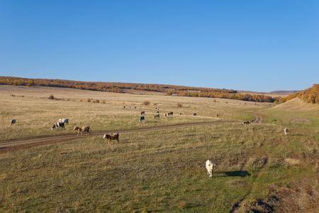 Vacas en el paisaje de oto�o