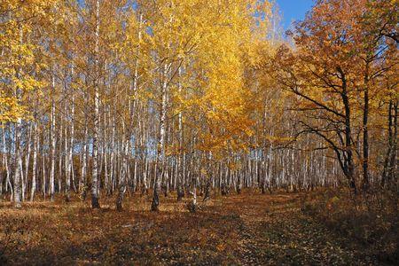 Herfst Birch Grove  Stockfoto