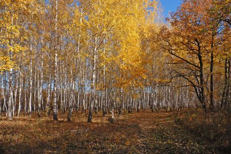 Oto�o Birch Grove  Foto de archivo