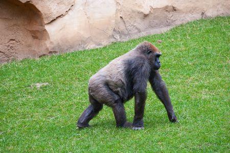 Gorila macho de Silverback va en la hierba