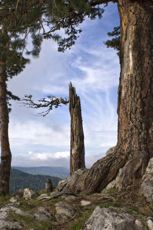 kavkaz: The pine broken by a wind