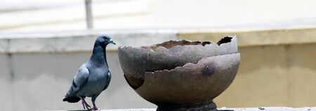 Portrait of Grey Pigeon peek in pot for drink water Banco de Imagens