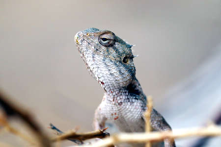 indian yallow dragon lizard clousup