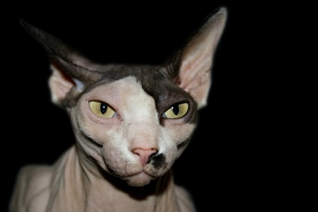Self confident Sphynx cat on a black background with bright eyes that look dangerous