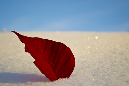 Red leaves from a poinsettia in the snow with blue sky in the background