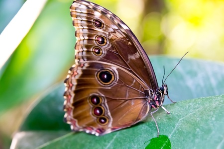 Blue Morpho with closed wings sitting on a leaf