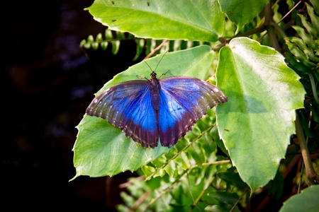 Blue Morpho with outstretched wings sitting on a leaf Stock Photo