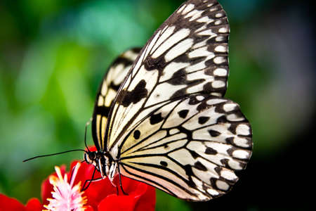 the paper kite butterfly idea leuconoe sitting on a red flower Stock Photo