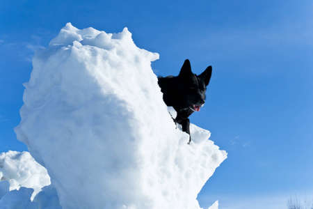 Black mixed breed dog sitting on a mountain of snow with a clear blue sky in the background