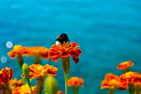 Bumble bee on a marigold with the Mediterranean Sea in the background