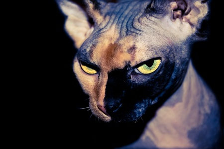 Sphynx cat on a black background with bright eyes that look dangerous