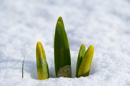 spring bulbs of narcissus in the snow