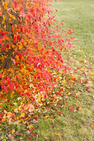 beautiful colorful shrub with fallen leaves around Stock Photo
