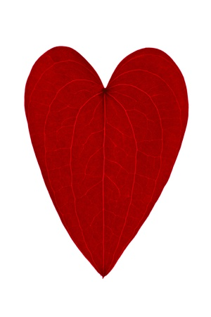 red leaf shaped like a heart on a white background photo