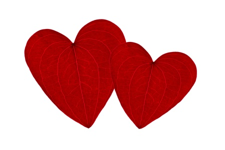 two red heart shaped leaves together on a white background photo