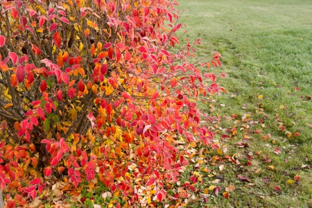 shrub with colorful leaves Stock Photo