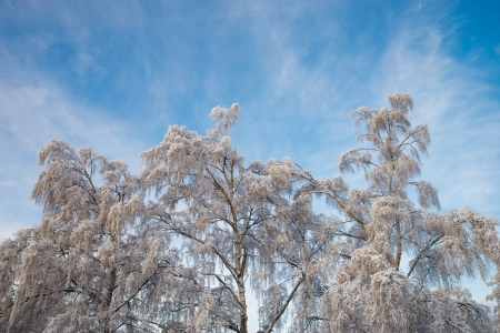 fabulously beautiful hanging birch trees with snow-covered branches against a blue winter sky