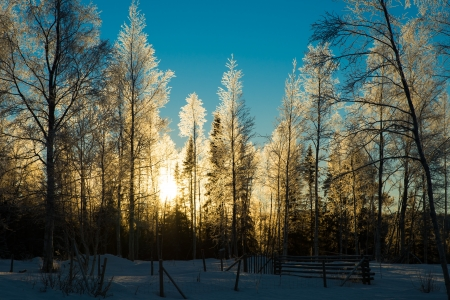 beautiful winter picture of frosty birch forest with the sun glistening through  blue skies and lots of snow