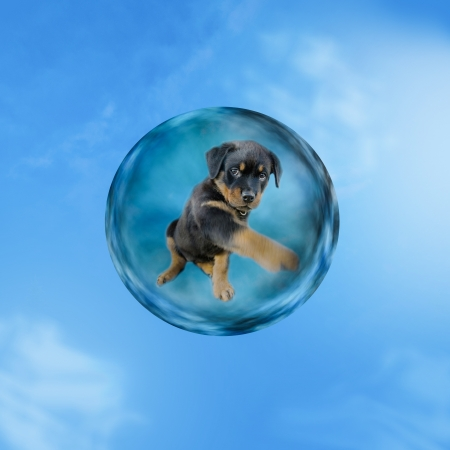 cute rottweiler puppy floating alone in the sky and try to get out of a bubble