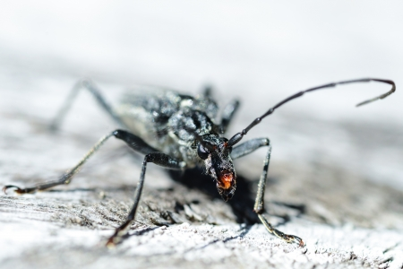 compound eyes: terrifying black beetle with long antennae and claws that look like a science fiction figure