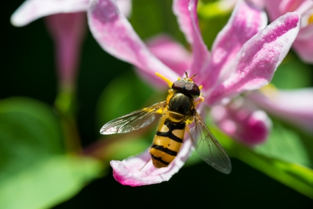 close-up of a striped bee sitting on a pink honeysucklels Stock Photo