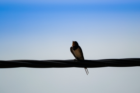 Hirundo rustica bird sitting on power line Stock Photo