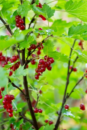 redcurrant: redcurrant bush with many hanging currant among the leaves Stock Photo
