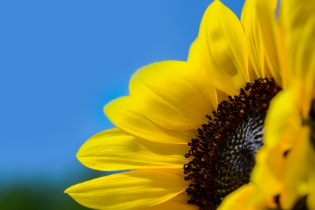 picture of a yellow sunflower against a clear blue sky with bright colors photo