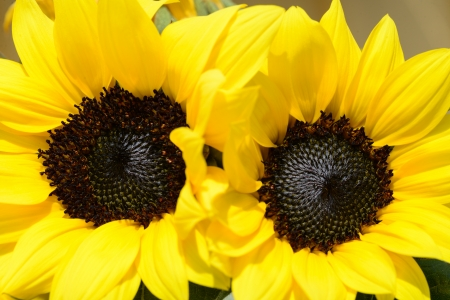 two sunflowers standing close together photo
