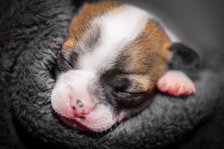 close your eyes: cute small chihuahua puppy sleeping with his paw at his side