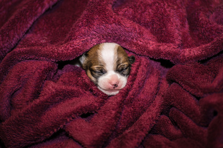 close your eyes: smiling small chihuahua puppy wrapped in a blanket so only the head is visible Stock Photo
