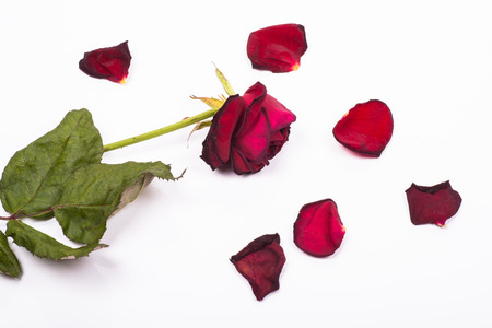 dehydrated death rose with fallen petals around on a white background