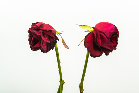 fade away: two dehydrated roses that are turning from one another on a white background