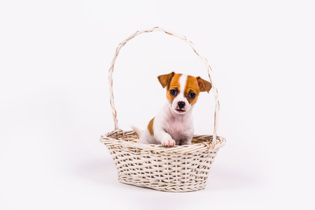 begging: begging chihuahua puppy in a white basket with white background