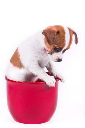 down sitting: cute chihuahua puppy looking down sitting in a red pot in front of a white background