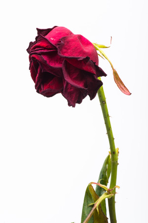 dehydrated red rose that symbolizes the broken love Stock Photo