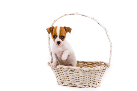 bonny: cute chihuahua puppy holding up his paw portrait in a white basket with a white background