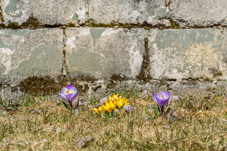 yellow and purple crocuses in the grass with a stone wall behind Stock Photo
