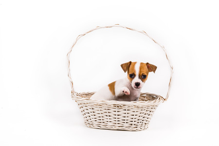 beckoning: beckoning chihuahua puppy sitting in a basket with a white background