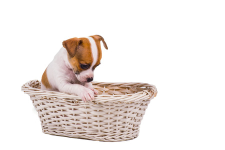 countenance: cute small chihuahua puppy sitting in a white basket with a sad countenance