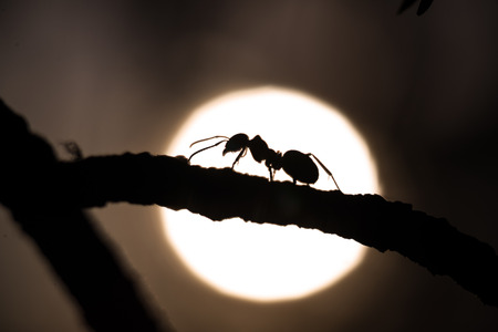 hormiga: silueta de una hormiga caminando sobre una rama con sol en el fondo