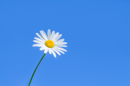 happieness: single white daisy against a clear blue sky