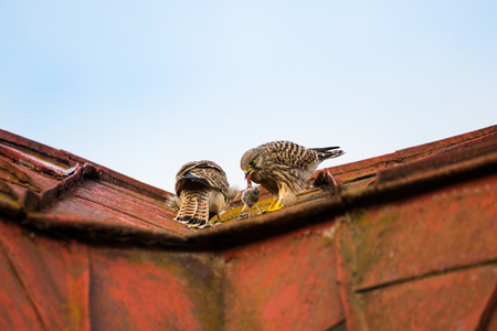 bird eating raptors: two kestrels sitting and eating on a roof with blue sky in the background