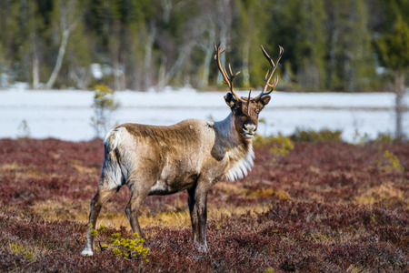 beautiful reindeer bull looking directly into the camera in northern Sweden