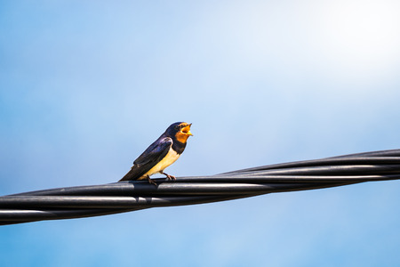 southern europe: singing swallow on a telephone line in southern Europe