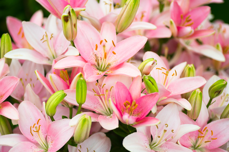 lots of beautiful pink lilies both excluded and buds
