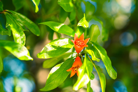 two pomegranate flowers among the leaves of a tree